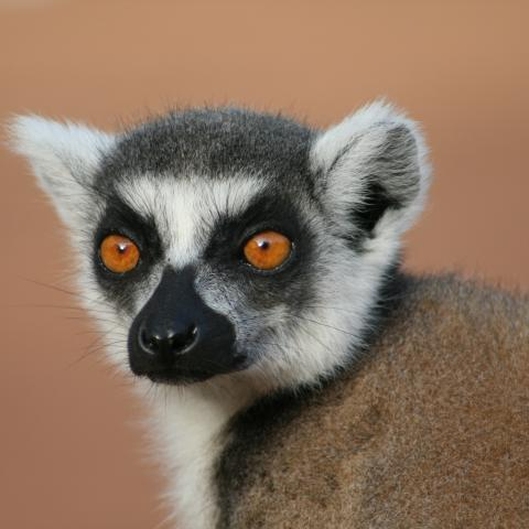 Ring-tailed lemur at Berenty