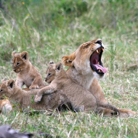 Lioness and cubs, Masai Mara