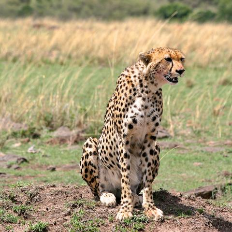 Cheetah in Masai Mara
