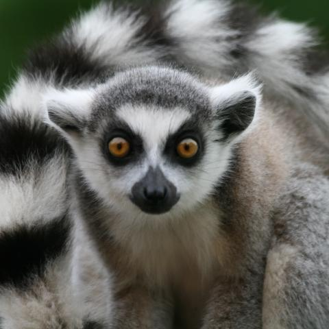 Ring-tailed lemurs at Berenty