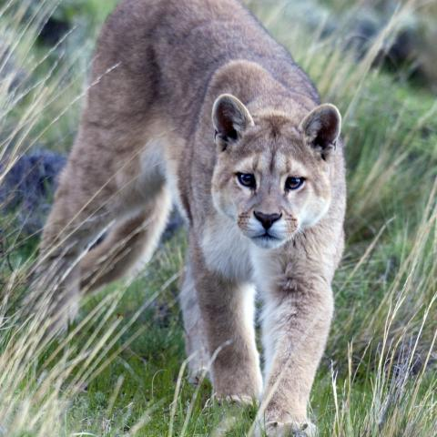 Mountain lion in Patagonia