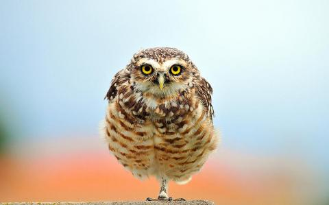 Burrowing owl, Estancia La Ernestina