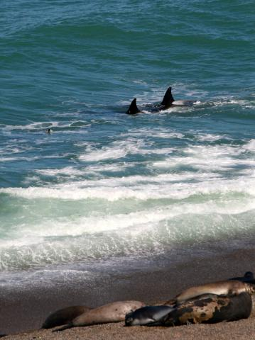 Killer Whales patrol the beach, Peninsula Valdes