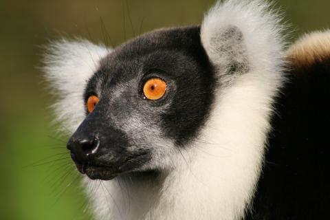 Black and white ruffed lemur at Andasibe-Mantadia National Park