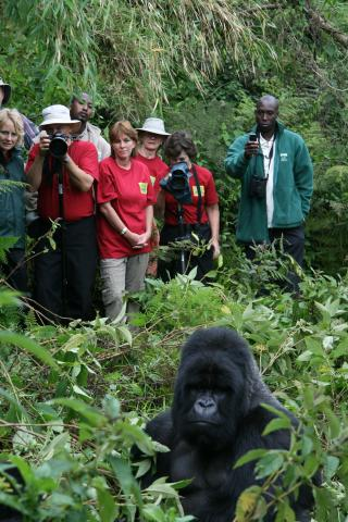 Mountain gorilla trekkers and silverback mountain gorilla