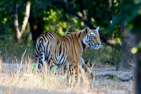 Tiger at Bandhavgarh National Park