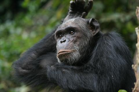 Chimpanzee in Gombe