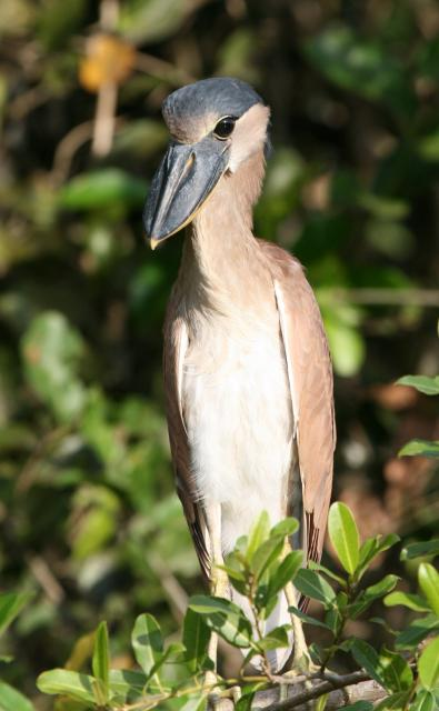 Boat-billed heron, Cuiaba River