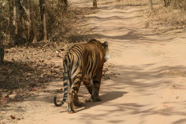 Male tiger on road in Bandhavgarh National Park