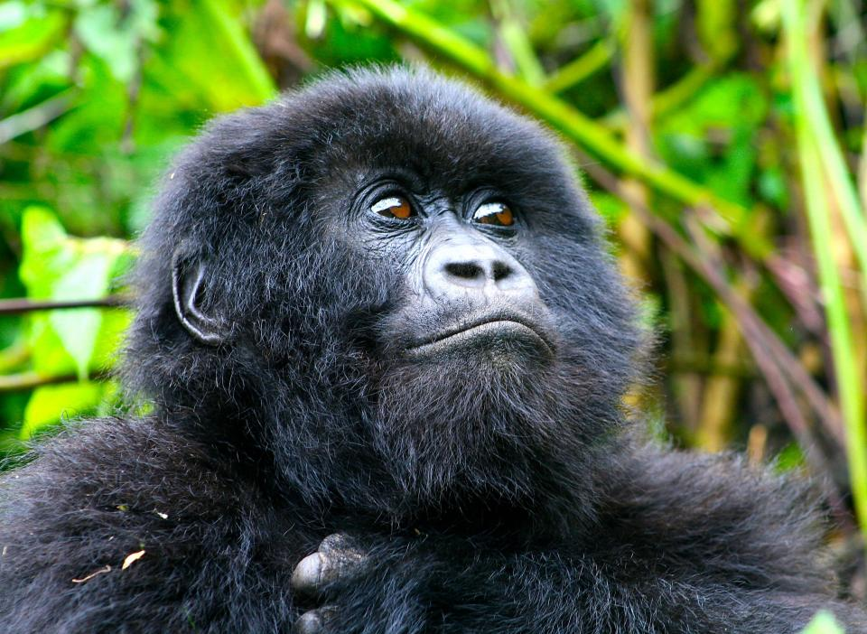 Mountain gorilla youngster