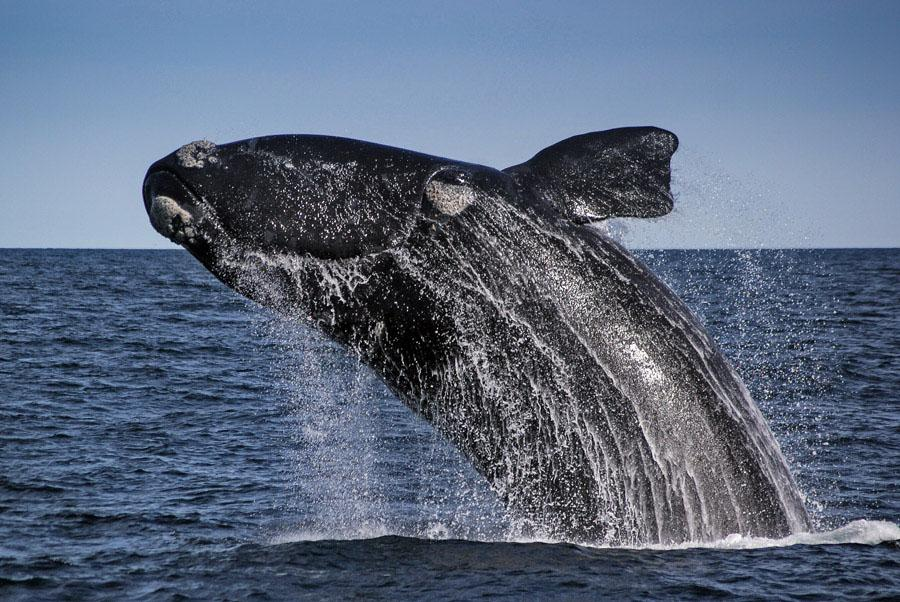 Southern Right Whale, Peninsula Valdes